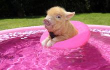 When pigs float